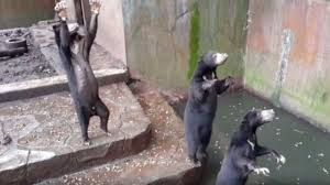 reaching up for food sun bear