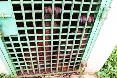 medan orang in cage