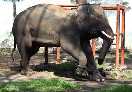 medan zoo elephant