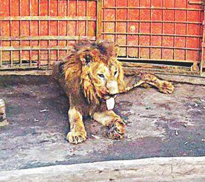 medan zoo lion