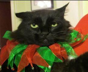 perfect black cat
