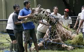 surabaya giraffe