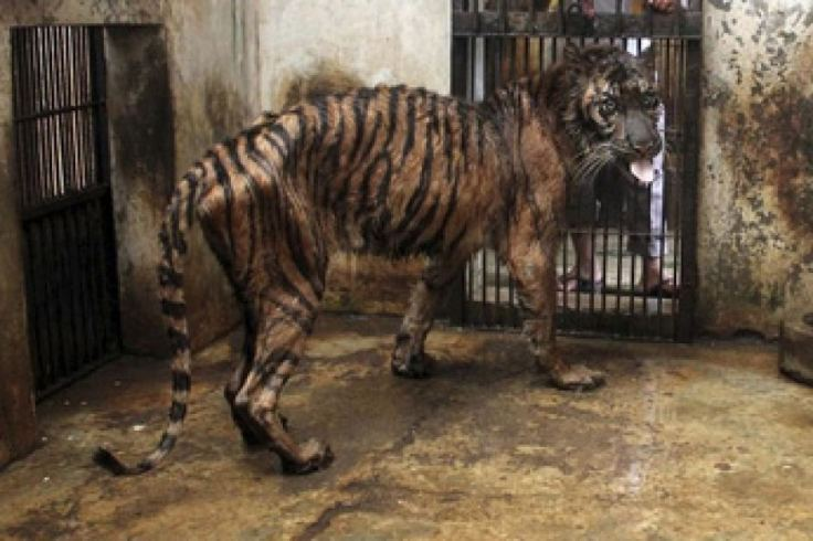 surabaya tiger