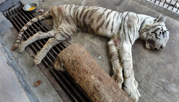 surabaya white tiger