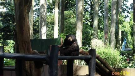 current photo of sun bear at bandung zoo