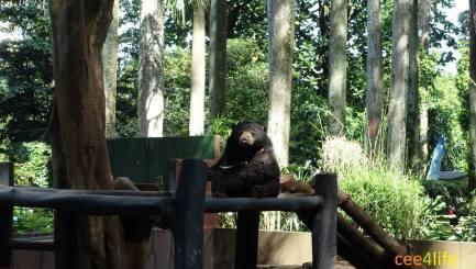 current photo of sun bear at bandung zoo