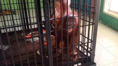 mikand the orang in tiny cage