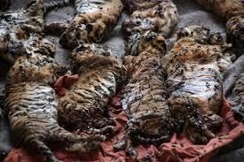dead tiger cubs