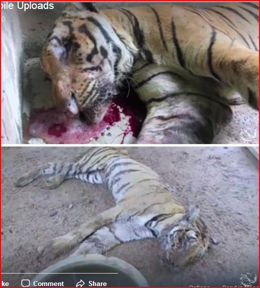 dead tigers