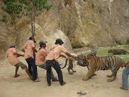 tiger temple abuse tigers
